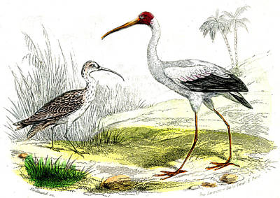 Ibis Photograph - Painted Storks by Collection Abecasis