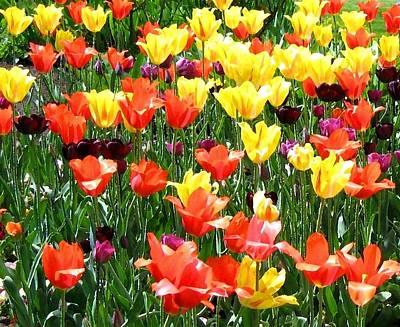 Painted Sunlit Tulips Art Print