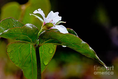 Photograph - Painted Trillium In The Rain by Susan Cole Kelly