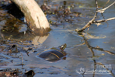 Photograph - Painted Turtle 20120416_209a by Tina Hopkins