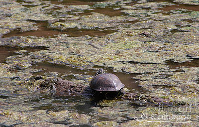 Photograph - Painted Turtle 20120421_127a by Tina Hopkins