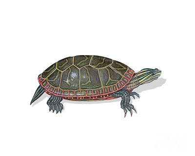 Painted Turtle Wall Art - Photograph - Painted Turtle by Carlyn Iverson