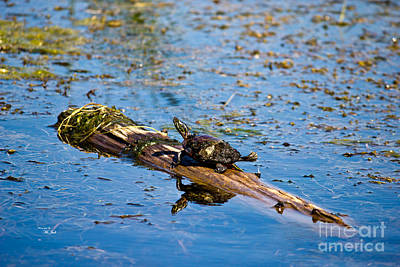 Photograph - Painted Turtle - Chrysemys Picta No.2 by Ms Judi