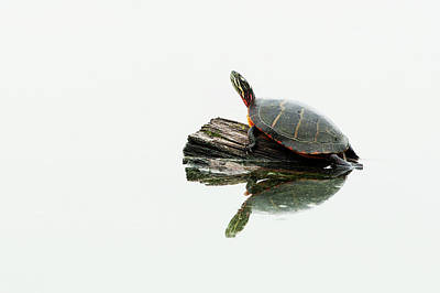 Painted Turtle Wall Art - Photograph - Painted Turtle On Log by Johann  Schumacher
