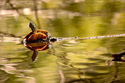 Photograph - Painted Turtle by Peggy Collins