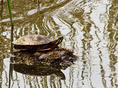 Photograph - Painted Turtle by Shawna Rowe