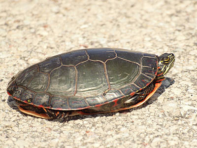 Painted Turtle Original by Thomas Young