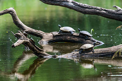 Photograph - Painted Turtles  Chrysemys Picta by Robert L. Potts