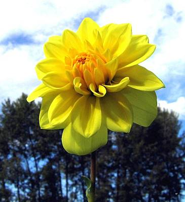 Painted Yellow Dahlia Art Print by Will Borden