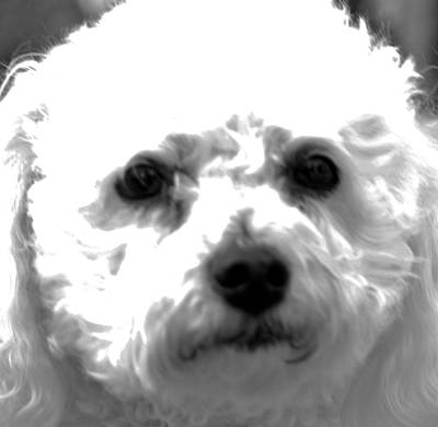 Photograph - Painterly Bichon Frise by Patrice Zinck