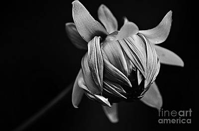 Photograph - Painterly Dahlia Bud In Black And White by Kaye Menner