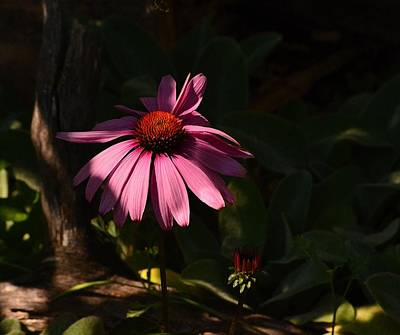 Photograph - Painting The Coneflower by Rae Ann  M Garrett