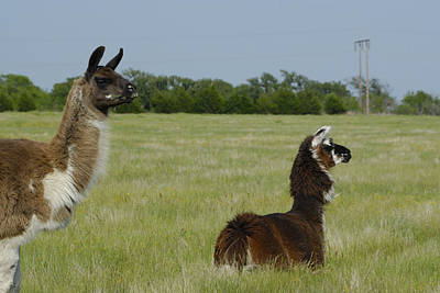 Photograph - Pair Of Alpacas by Charles Beeler