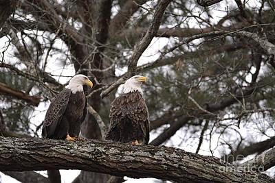 Photograph - Pair Of Bald Eagles by Jai Johnson