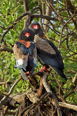 Adam Photograph - Pair Of Bateleur Eagles, Samburu by Adam Jones