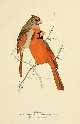 Cardinals Drawing - Pair Of Cardinals by Philip Ralley