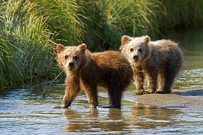 Photograph - Pair Of Cubs by Shari Sommerfeld