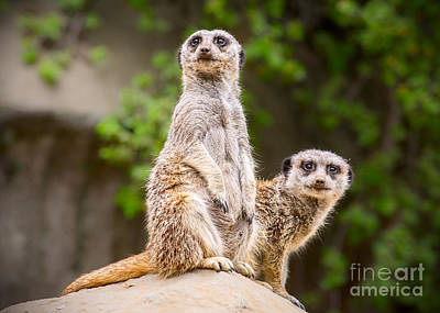 Meerkat Photograph - Pair Of Cuteness by Jamie Pham