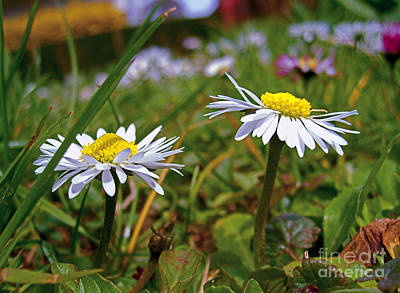 Photograph - Pair Of Daisies by Nina Ficur Feenan