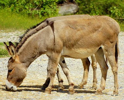 Photograph - Pair Of Donkeys by Rachel Munoz Striggow