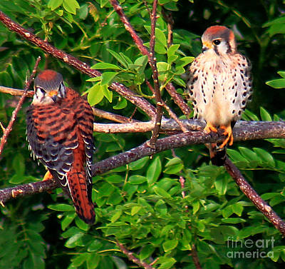 Caribbean Falcons Art Print