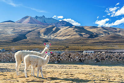 Alpacas Photograph - Pair Of Llamas by Jess Kraft