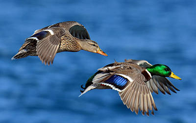 Photograph - Pair Of Mallards In Flight by Rodney Campbell