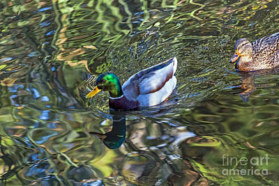 Photograph - Pair Of Mallards by Kate Brown