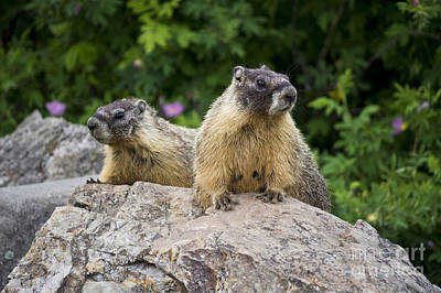 Photograph - Pair Of Marmots by Maria Janicki