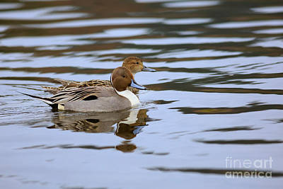 Esquimalt Photograph - Pair Of Northern Pintail Ducks by Louise Heusinkveld