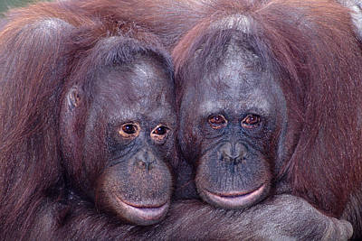 Robert Jensen Photograph - Pair Of Orangutans by Robert Jensen