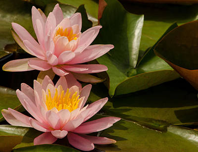 Photograph - Pair Of Pale Pink Water Lilies by Jordan Blackstone