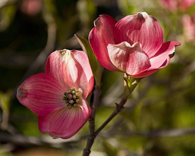 Photograph - Pair Of Pink Dogwood by Jatinkumar Thakkar