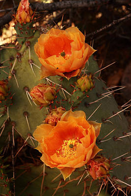 Photograph - Pair Of Prickly Pear Cactus Blooms In The Sandia Foothills by Alan Vance Ley