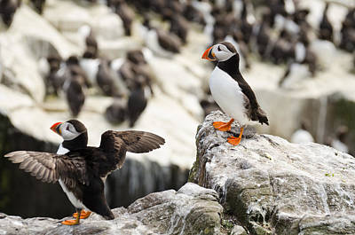Design Pics - Pair of Puffins by David Head