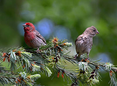 Pair Of Purple Finches Art Print