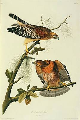 Red Shouldered Hawk Photograph - Pair Of Red-shouldered Hawks by Natural History Museum, London/science Photo Library