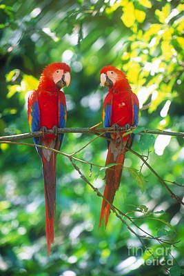 Amazon River Photograph - Pair Of Scarlet Macaws by Art Wolfe