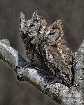 Art Print featuring the photograph Pair Of Screech Owls by JRP Photography