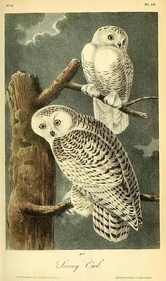 Barn Owl Drawing - Pair Of Snowy Owls by Philip Ralley