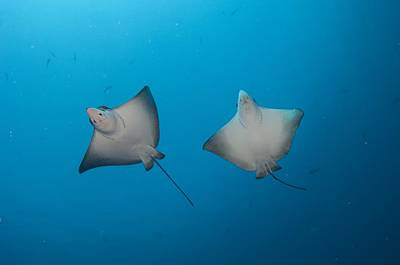 Spotted Eagle Ray Photograph - Pair Of Spotted Eagle Rays by Science Photo Library