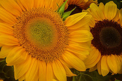 Photograph - Pair Of Sunflowers by Roger Mullenhour