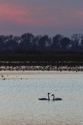 Photograph - Pair Of Swan At Sunset by Jill Bell