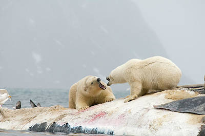 Carcass Photograph - Pair Of Unreleated Polar Bear, Ursus by Steven J. Kazlowski / GHG