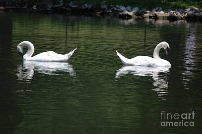 Photograph - Pair Of White Swans by Mark McReynolds