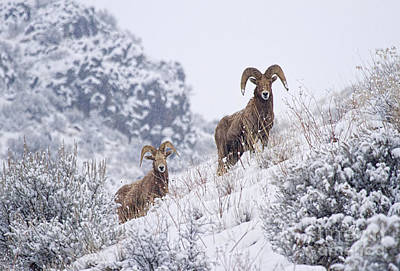 Bighorn Sheep Photograph - Pair Of Winter Rams by Mike  Dawson