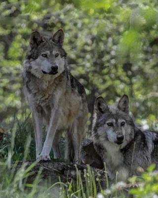 Canine Digital Art - Pair Of Wolves by Ernie Echols