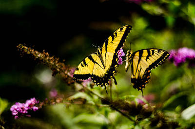 Pair Of Yellow Swallowtails Art Print by Bruce Pritchett