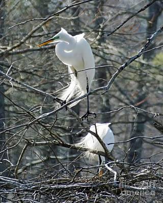 Photograph - Paired Egrets At Lake Martin Louisiana by Lizi Beard-Ward