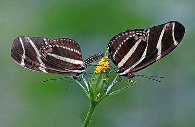 Photograph - Pairing Zebra Longwing Butterflies by Juergen Roth